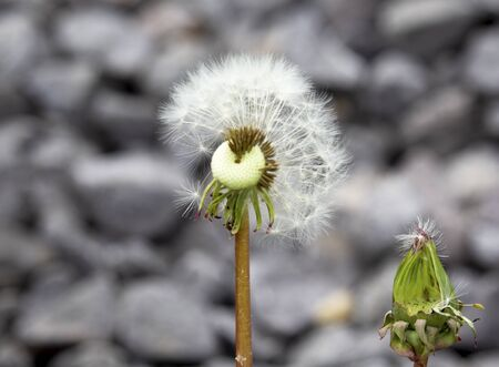 dandelion seed hooked to a bud