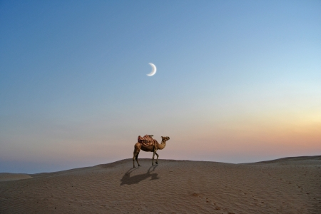 Camel in the desert sand of the Sahara - Tunisia, africa photo