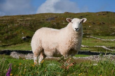 Sheep in Ireland photo