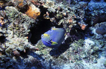 An adult queen angelfish (Holacanthus ciliaris) leaves its hiding cave in Cozumel, Mexico. photo