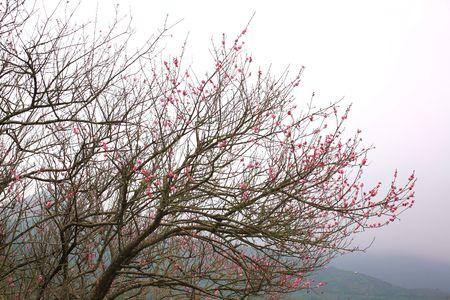 peach blossom Stock Photo - 6320633