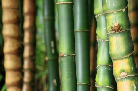 shallow dof: Bamboo forest background