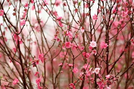 plum blossom: Chinese new year decoration flower-peach blossom Stock Photo