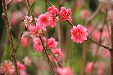 Chinese new year decoration flower-peach blossom Stock Photo