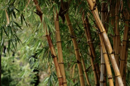 Bamboo forest background  photo