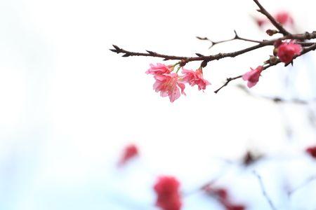 fleur de cerisier: cerisiers