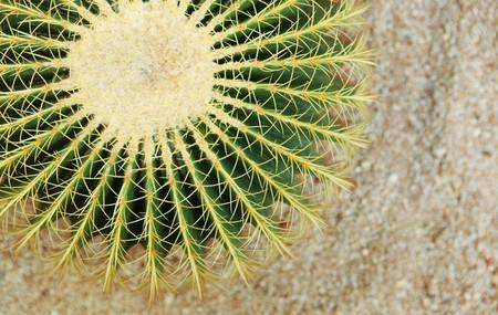 existence: cactus , echinocactus grusonii, golden barrel cactus