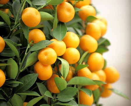 new age: chinese kumquat for chinese new year
