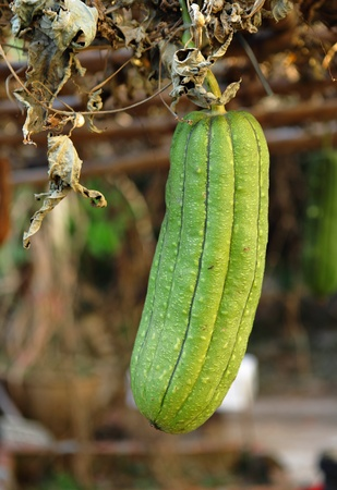 cylindrica: Fresh green sponge gourd Stock Photo