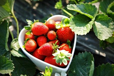 Fresh picked strawberries in heart shape bowl