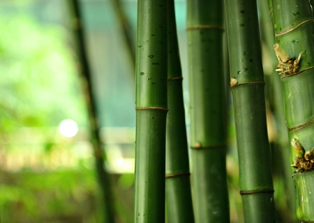 bamboo forest: bamboo Stock Photo