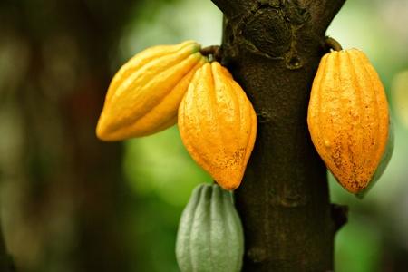 Vainas de cacao Foto de archivo - 8858257