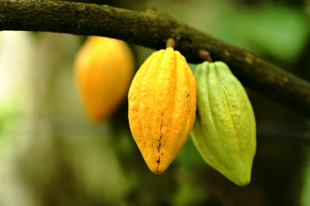 Kakao pods Standard-Bild