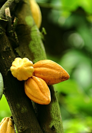 Kakao pods