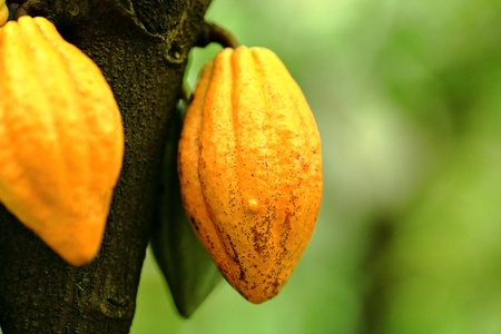 bitter fruit: Cocoa pods
