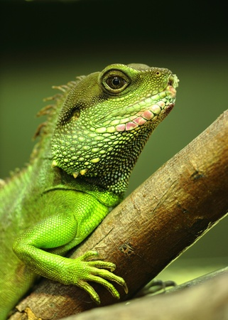 green iguana on tree branch photo