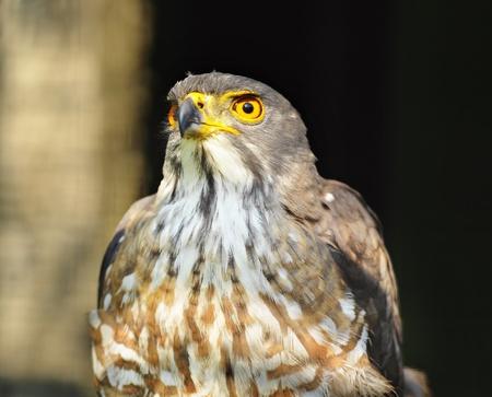 merlin falcon: Eagle portrait Stock Photo