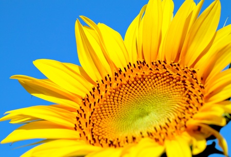 sun flower close up photo