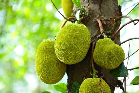 Jackfruit on tree photo