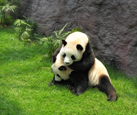 giant panda: two panda playing Stock Photo