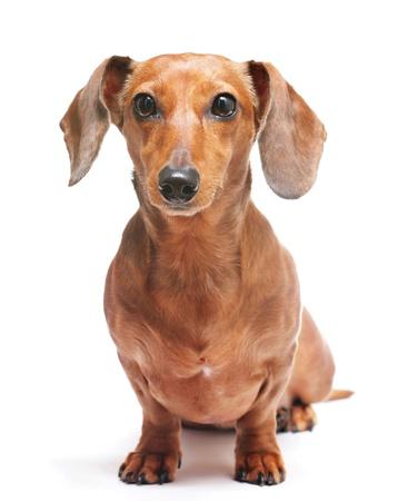pal: dachshund Stock Photo