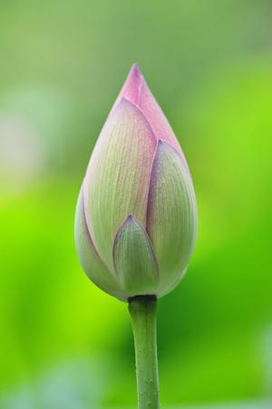 lotus bud Stock Photo