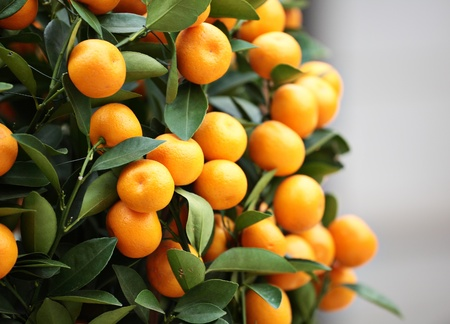 kumquat for chinese new year Stock Photo - 9996414