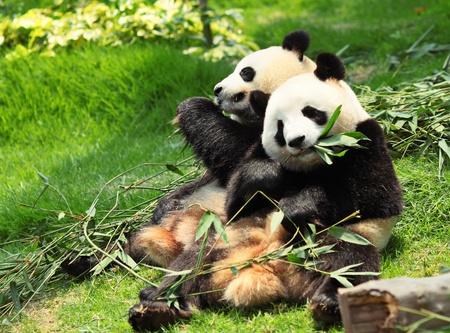 ourson: Panda