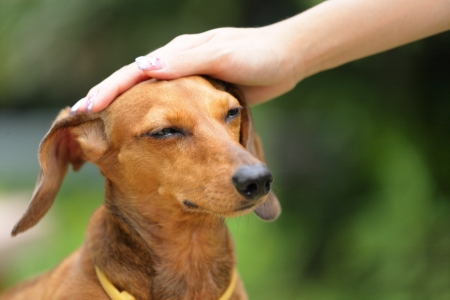 little dog: obedience dog Stock Photo