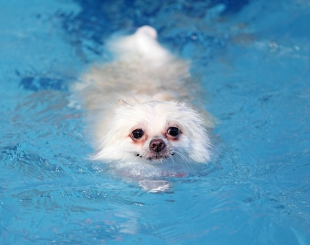 white pomeranian dog swimming in swimming pool photo