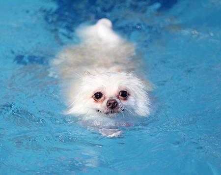 pomeranian: white pomeranian dog swimming in swimming pool
