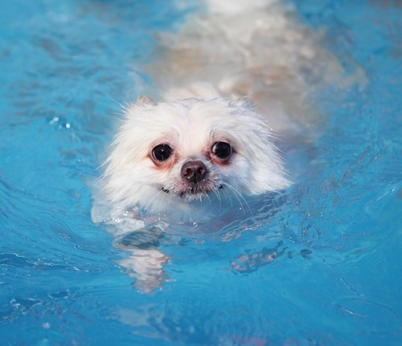 white pomeranian swimming in swimming pool at summer photo