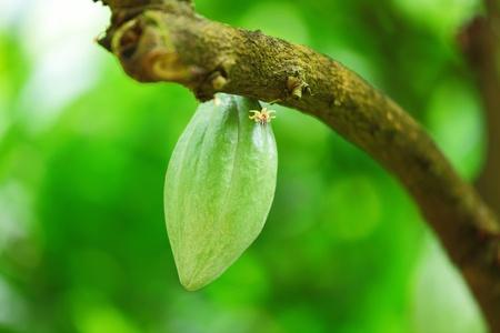 cacao: Cocoa pods