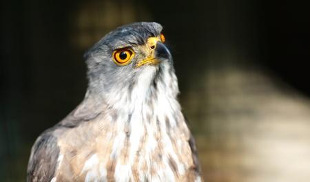 merlin falcon: eagle