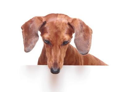 dachshund dog looking down photo