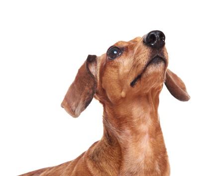 dachshund dog looking up photo