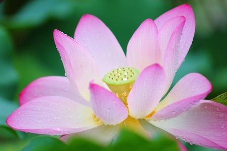 lotus flower Stock Photo - 10936793