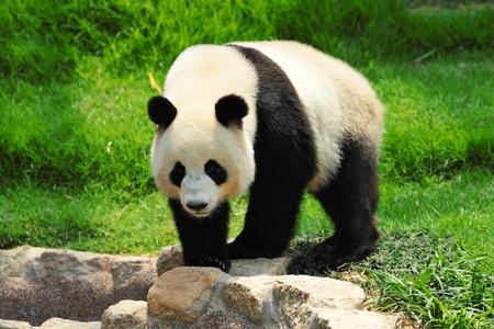 oso panda: panda