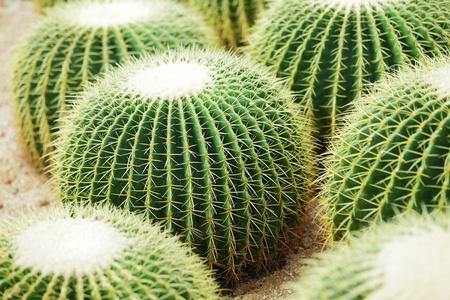 prickles: Cactus Stock Photo