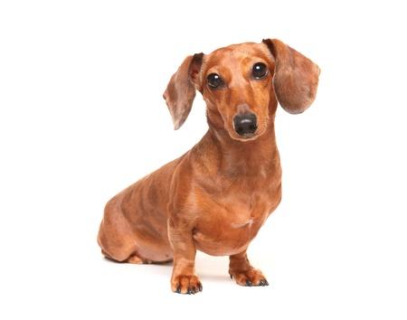 weenie: dachshund dog