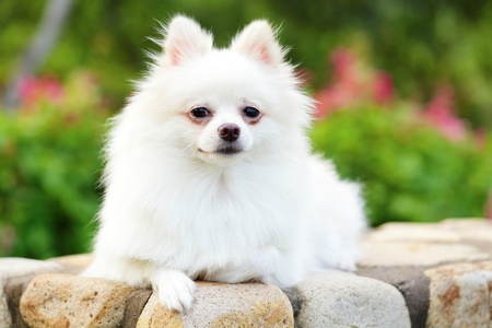 white pomeranian dog photo