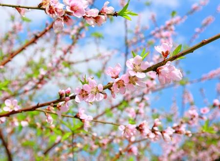 flores chinas: China decoración de año nuevo de flores de flor de durazno
