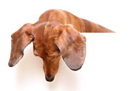weenie: dachshund dog looking down