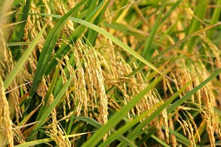 rice plant: rice plant