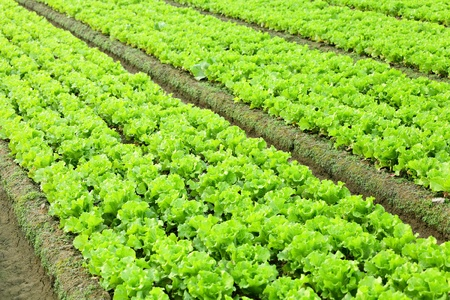 lettuce in field photo