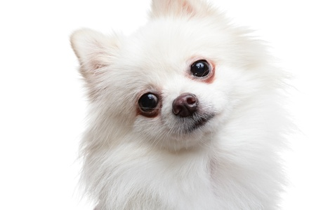 Pomeranian Spitz dog photo