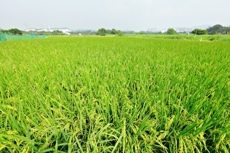 paddy rice field photo