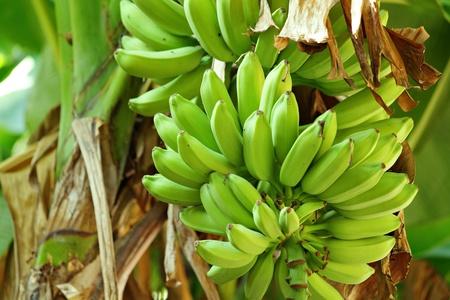 banane: de la banane sur l'arbre