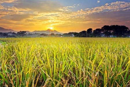 paddy field with sunset photo