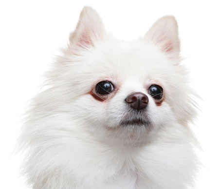 white pomeranian spitz dog photo